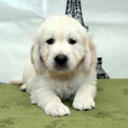 Puppies にホープの仔犬 Ⅲ 生後47日-1,2をアップしました。