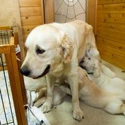 Puppies にメグの仔犬Ⅲ 生後44日-1、2をアップしました。