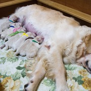 2017.09.15.(金) ホープ出産 詳細は Puppies をご覧ください。