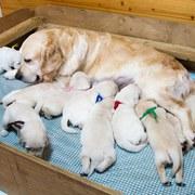 Puppies にホープの仔犬 2017年9月生れⅡ-1,2をアップしました。