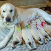 2018.01.27.(土) メグ出産 詳細は Puppies をご覧ください。