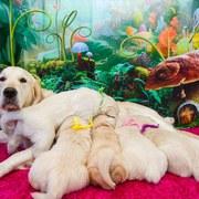 Puppies にメグの仔犬 2018年1月生れⅡ-1,2 をアップしました。