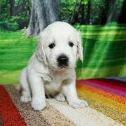 Puppies にパルマの仔犬 2018年8月生れⅡ-1,2 アップしました。