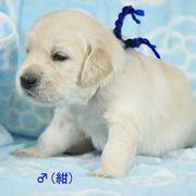 Puppies にホープの仔犬 2018年11月生れⅡ-1,2 をアップしました。