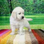 Puppies にホープの仔犬 2019年6月生れⅢ-1,2 をアップしました。