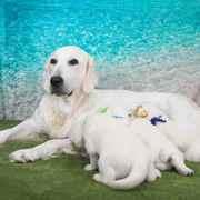 Puppies にひまわりの仔犬 2020年8月14日生れⅡを アップしました。