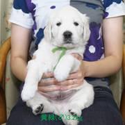 Puppies にひまわりの仔犬 2020年8月14日生れⅢを アップしました。