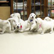 Puppies にひまわりの仔犬 2020.08.14.生れⅣを アップしました。