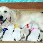 Puppies にフィオナの仔犬 2021.03.22.生れⅠを アップしました。