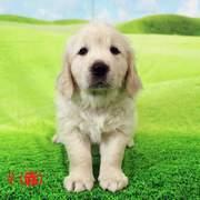 Puppies にフィオナの仔犬 2021.03.22.生れⅡをアップしました。