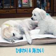 Puppies にひまわりの仔犬 2021年4月生れⅢ-1,2を アップしました。